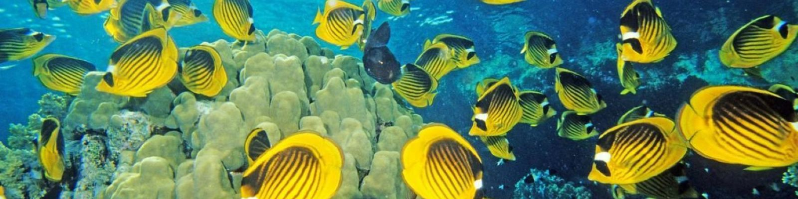red sea racoon butterflyfish ocean coral 1600x1200 hd-wallpaper-754197